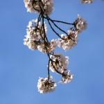 青空の下に咲く桜