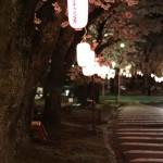 提灯に照らされる桜たち