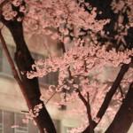 満開の桜たち