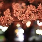 夜のネオンに浮く桜